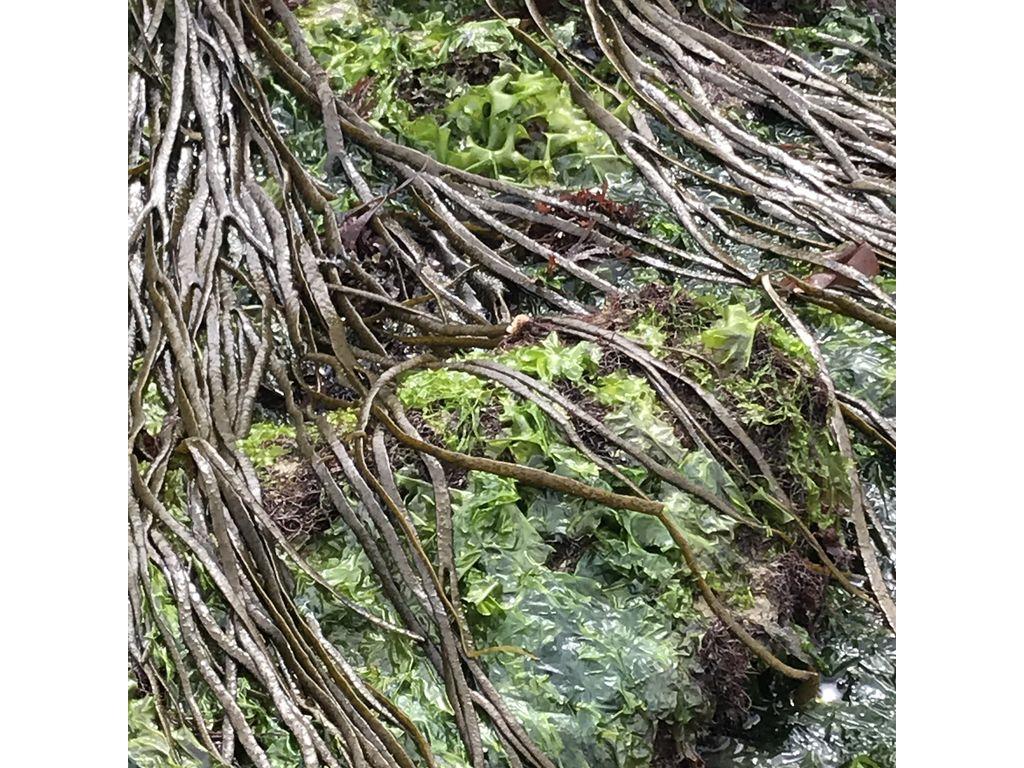 Découverte des algues alimentaires sur l'estran